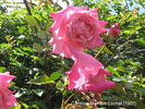 Pink Maman Cochet, Cl. rose photo