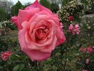 Mrs. Jennie Deverman rose photo