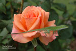 Out of Africa rose photo
