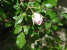 Anne Belovich rose photo