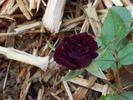 Black Jade ™ rose photo