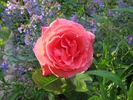 Camelot (grandiflora, Swim rose photo