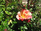 Striped Delight rose photo