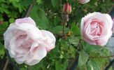 Splendens rose photo
