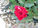 Ricky Hendrick rose photo