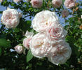Breeze Hill rose photo