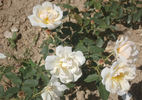 Gustave Régis rose photo