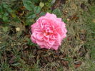 Dan Poncet ® rose photo