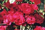 Sweet Symphony rose photo