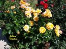 Golden Holstein rose photo