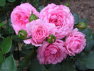 Royal Bonica rose photo