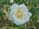 Whisper ™ rose photo