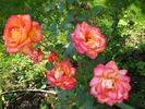 Rittertum rose photo