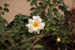 Republic of Texas rose photo