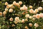 Paul Ricard ® rose photo