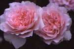 Admired Miranda ® rose photo