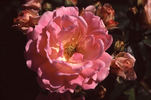 Ellen Poulsen rose photo