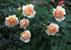 Madame Paule Massad ® rose photo