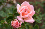 Jean Kenneally rose photo