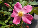 Nearly Wild rose photo
