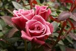 Diamond Anniversary ™ rose photo