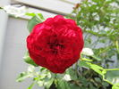Pied Piper rose photo