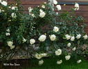 White New Dawn rose photo