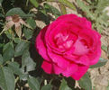 Dupuy Jamain rose photo