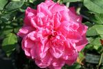 Comtesse de Leusse rose photo