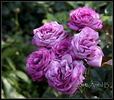Blue River ® rose photo