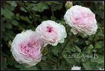 James Galway rose photo