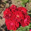 """""""Канадские розы"""" 213461"""