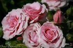 DICevy rose photo
