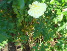 Yellow Brick Road rose photo