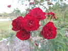 Red Cascade rose photo