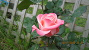 Kiss ® rose photo