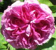 Reine des Violettes rose photo