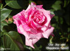 Our Joy and Happiness rose photo