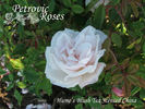 Hume's Blush Tea-scented China rose photo