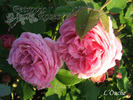 L'Ouche rose photo