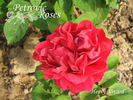 Henry Nevard rose photo