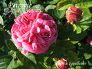 Maurice Lepelletier rose photo