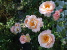 Belle Story rose photo