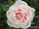 Mistress Bosanquet rose photo