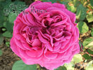 Madame Dubost rose photo