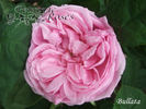 Bullata rose photo