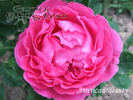American Beauty rose photo