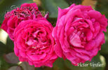 Victor Verdier rose photo