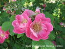 Jeanie Deans rose photo