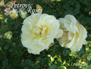 Leverkusen rose photo